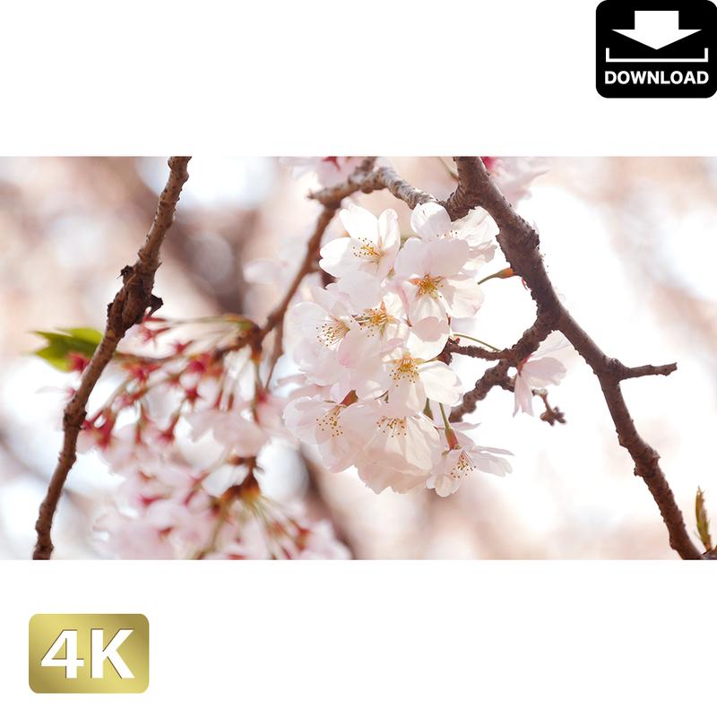 2020015 ■ 花見 桜