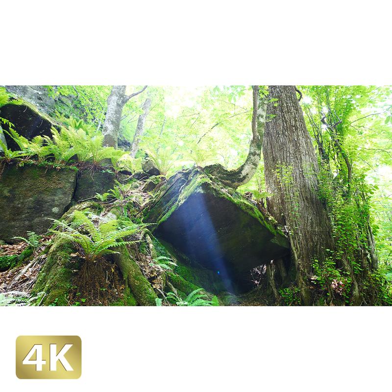 1035055 ■ 奥入瀬渓流 岩と木
