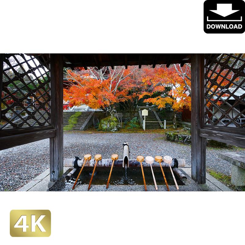 2043055 ■ 京都 東寺の紅葉