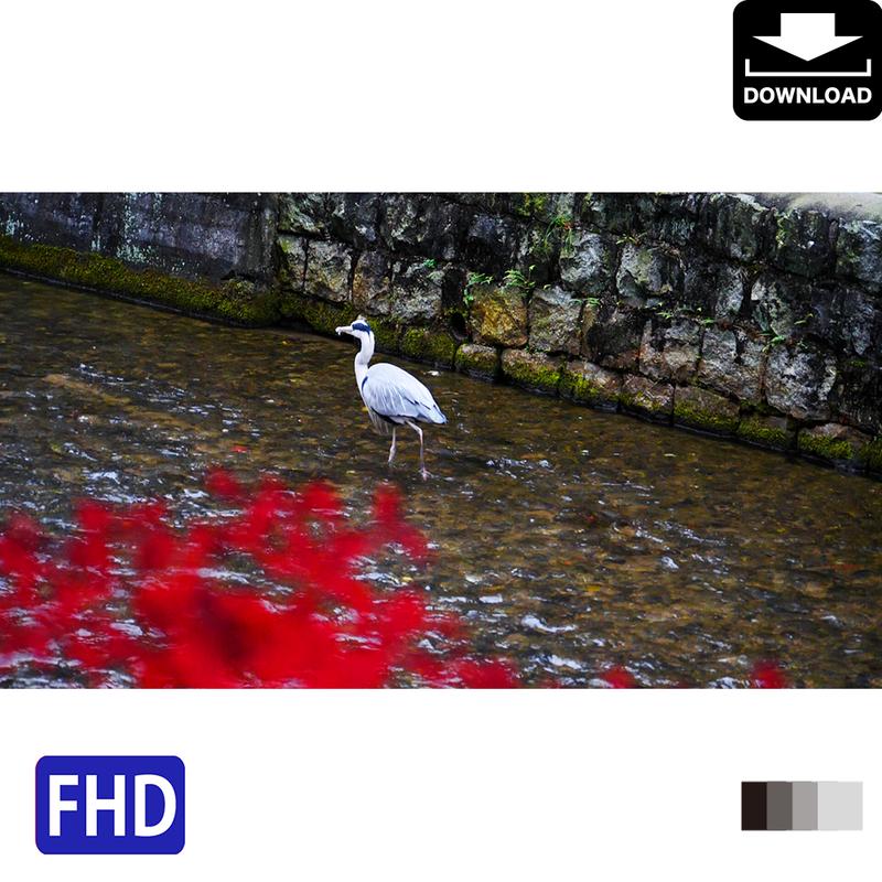 4043062 ■ 京都 紅葉 アオサギ