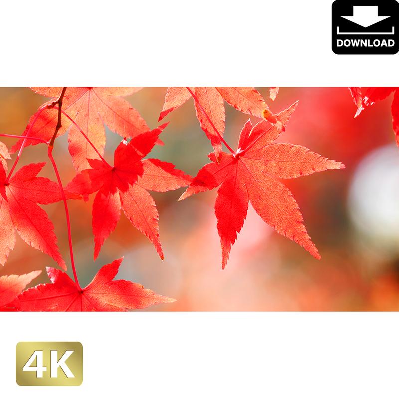 2043017 ■ 京都 東寺の紅葉