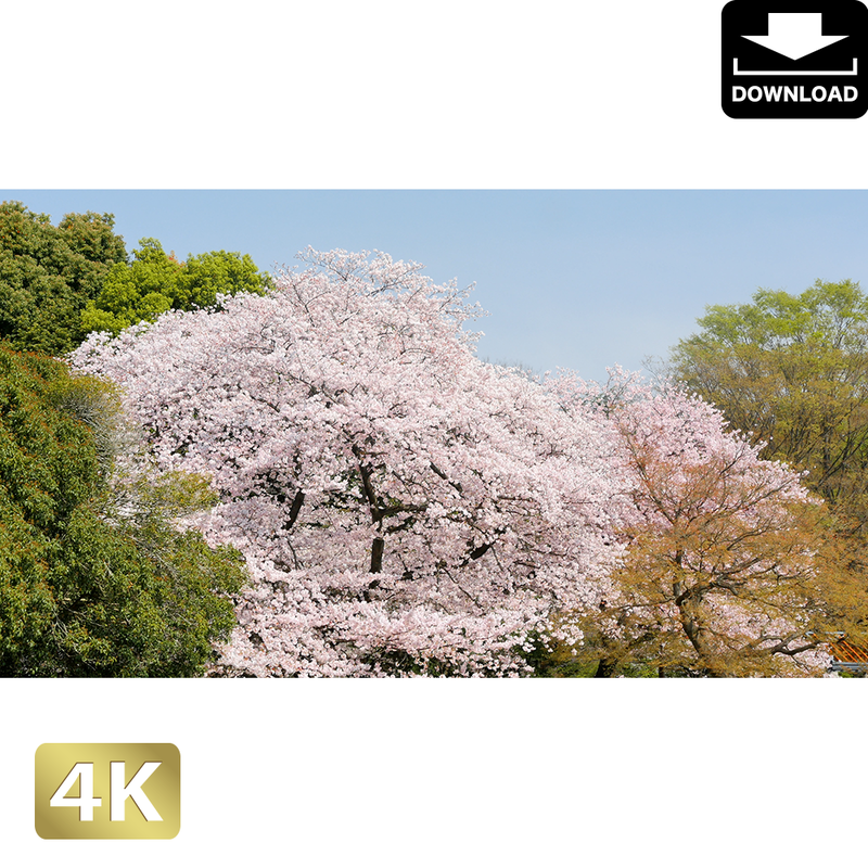 2020022 ■ 花見 桜