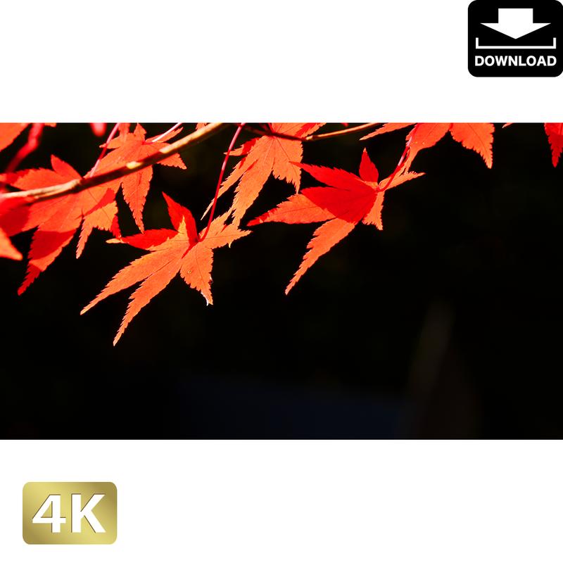 2043018 ■ 京都 東寺の紅葉