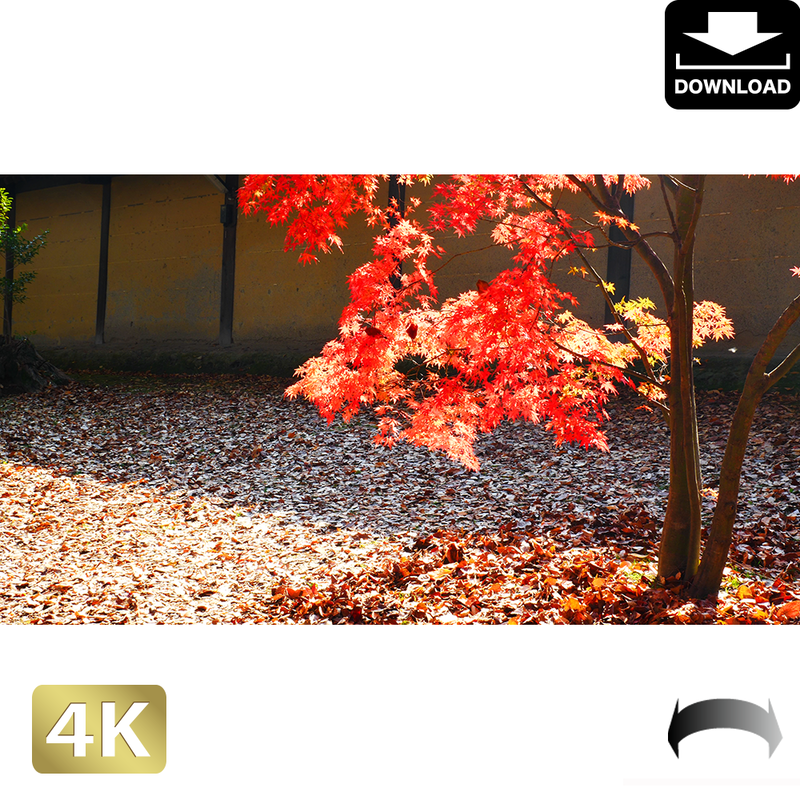 2043020 ■ 京都 東寺の紅葉