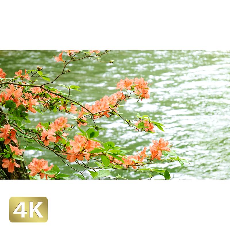 1035053 ■ 奥入瀬渓流 清流とツツジ