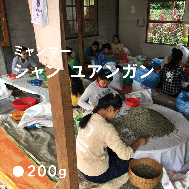 ミャンマー シャン ユアンガン ナチュラル/  浅煎り (HighRoast)