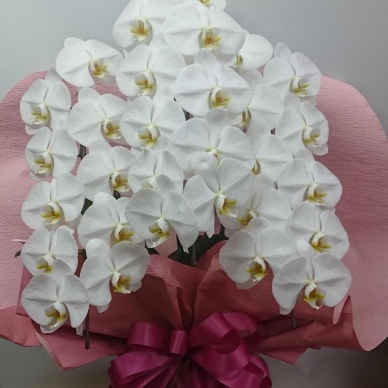 胡蝶蘭(鉢植え)