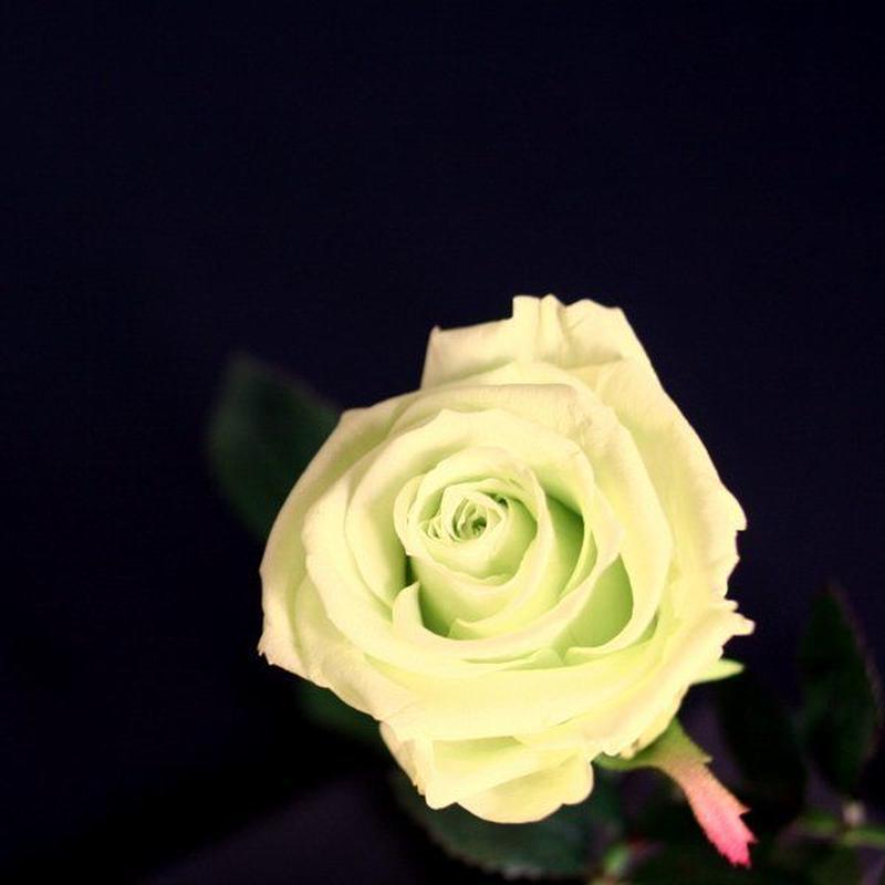 [プリザ]飛び出すバラ The Flora /ペールグリーン