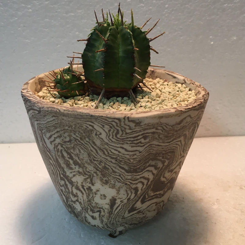 "Euphorbia""sasaganikirin"""