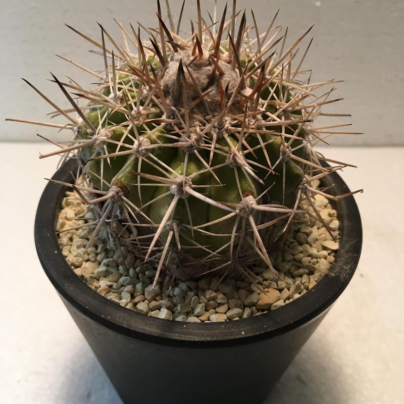 """Copiapoa """"echinoides"""""""