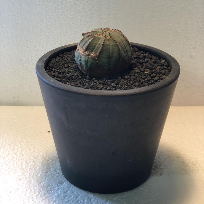 Euphorbia obesa Old 4