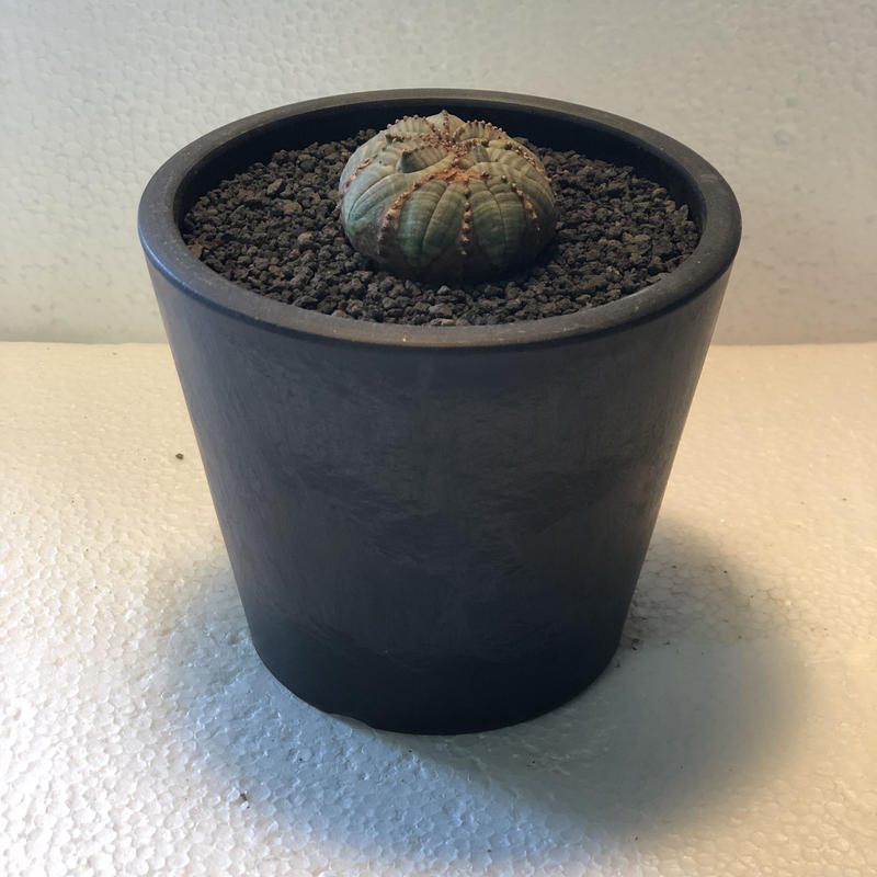 Euphorbia obesa Old 5