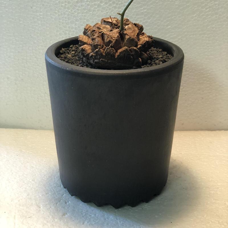 Dioscorea elephantipes 4(国内実生)