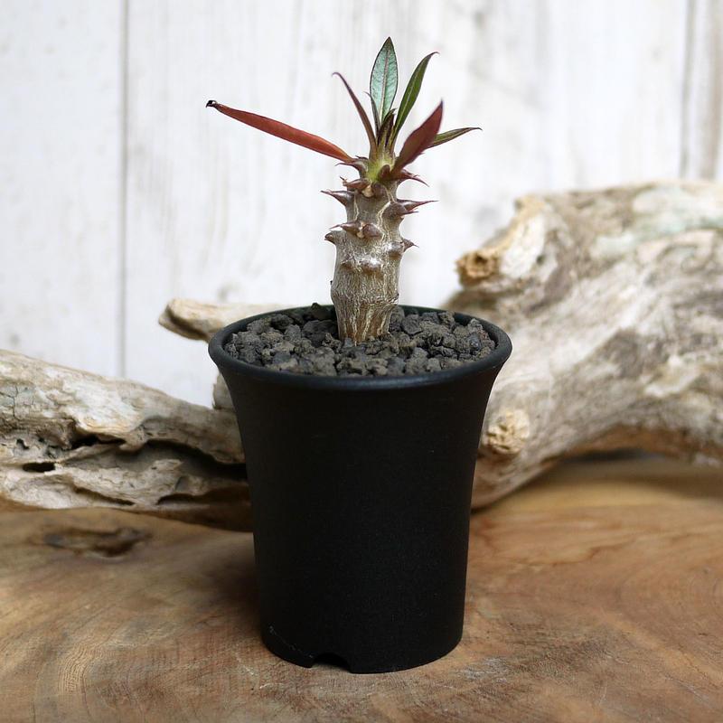 【実生】Pachypodium baronii パキポディウム・バロニー  BAR9