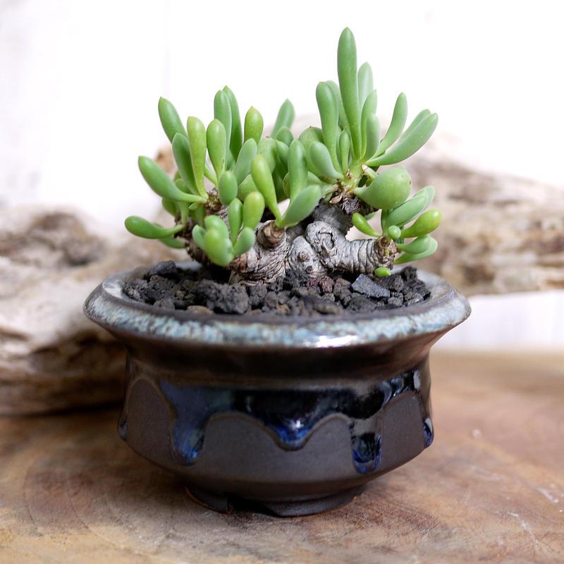 Othonna clavifolia オトンナ・クラビフォリア Ⅲ