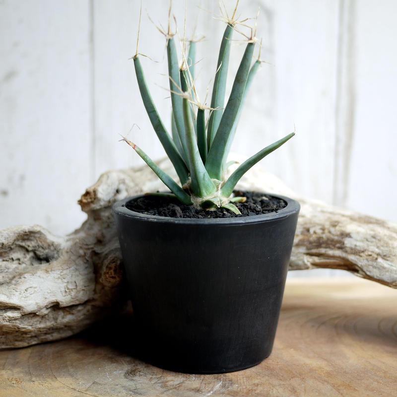 晃山 Leuchtenbergia principis レウクテンベルギアプリンシピスE