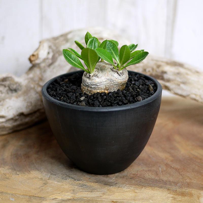 Pachypodium brevicaule パキポディウム・ブレビカウレ  恵比寿笑いミニⅡ