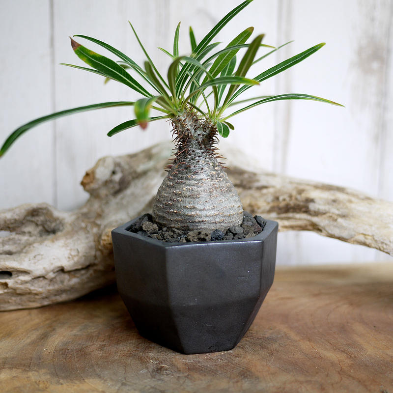 Pachypodium rosulatum var. gracilius パキポディウム・ロスラーツム・グラキリウス(グラキリス)S2
