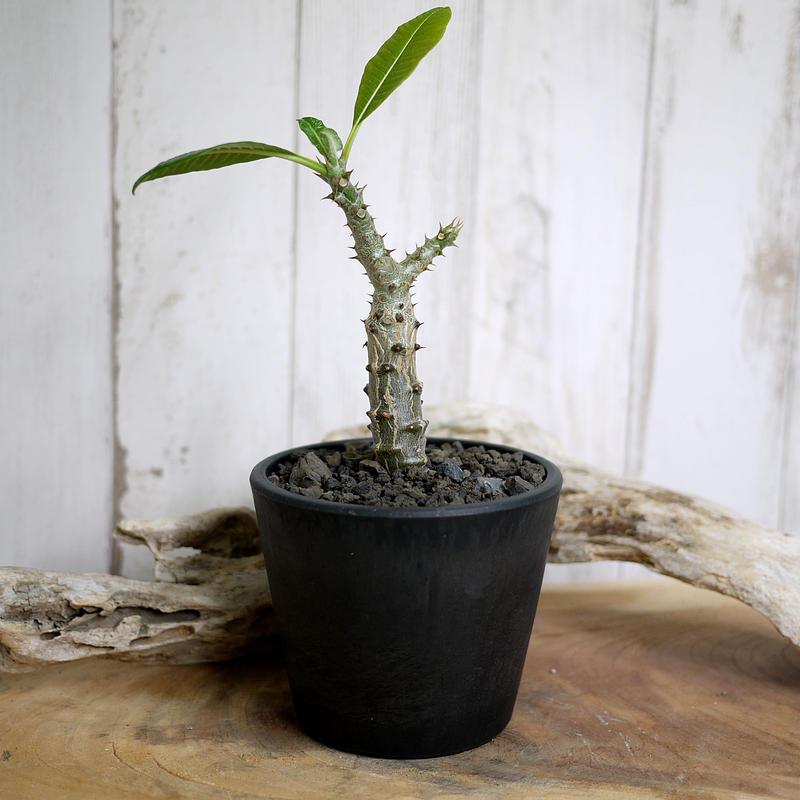 Pachypodium baronii var. windsorii パキポディウム・バロニー・ウィンゾリー W4