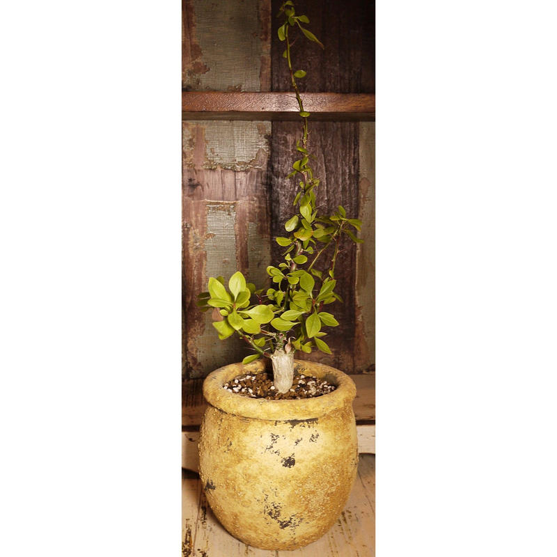 Fouquieria fasciculata フォークイエリア・ファシクラータ  F2