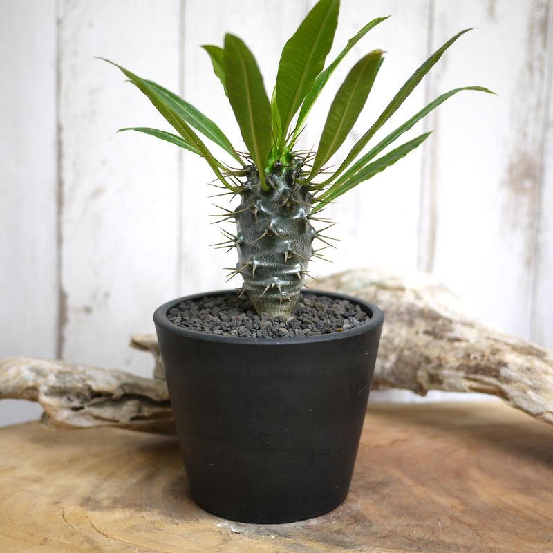 【実生】Pachypodium lamerei var. fiherenense パキポディウム・フィヘレネンセ FIH8
