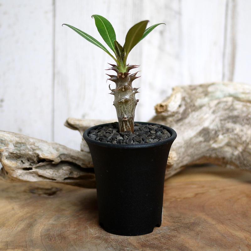 【実生】Pachypodium baronii パキポディウム・バロニー  BAR8