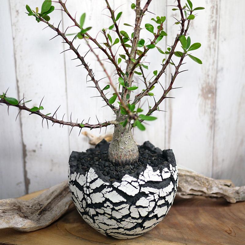 Fouquieria fasciculata フォークイエリア・ファシクラータ
