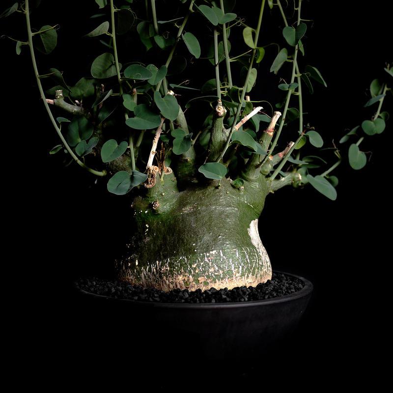 Adenia spinosa アデニア・スピノーサ