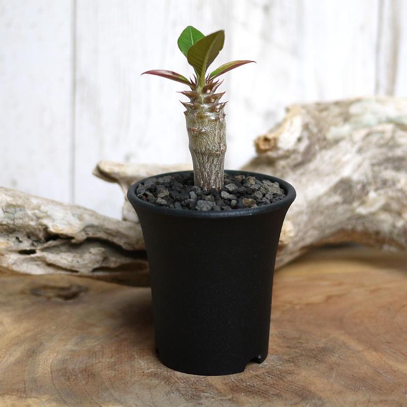 【実生】Pachypodium baronii パキポディウム・バロニー  BAR10