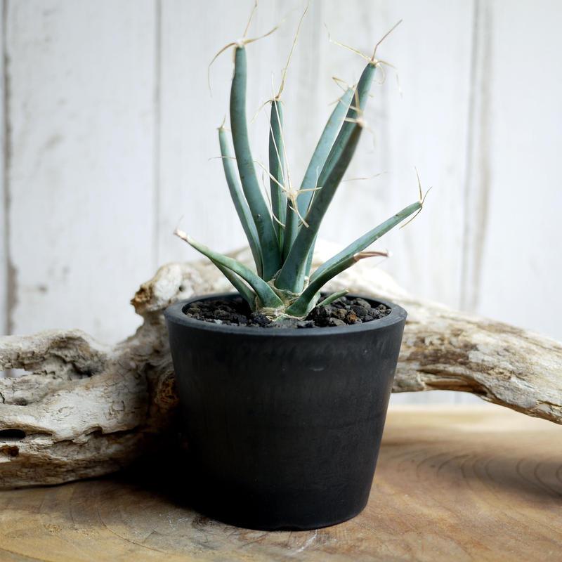晃山 Leuchtenbergia principis レウクテンベルギアプリンシピスC