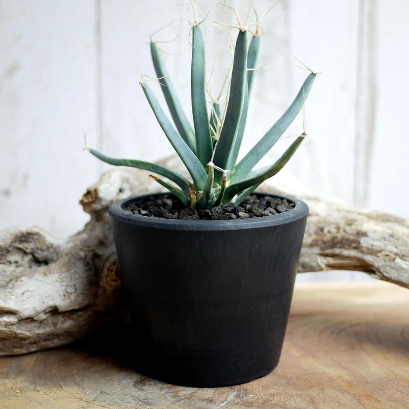晃山 Leuchtenbergia principis レウクテンベルギアプリンシピスD
