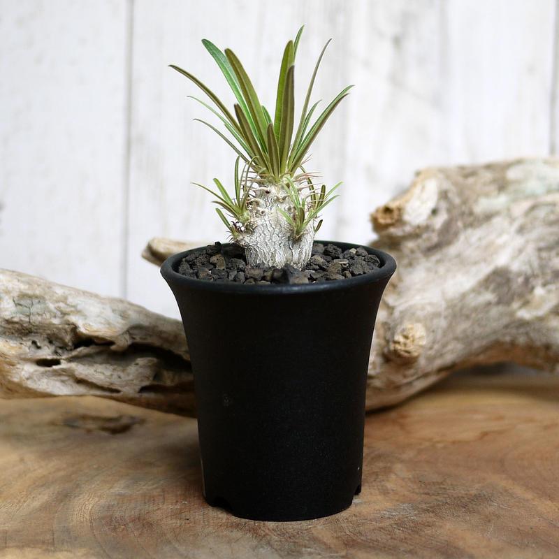 【実生】Pachypodium rosulatum var. gracilius パキポディウム・ロスラーツム・グラキリウス(グラキリス)GR7