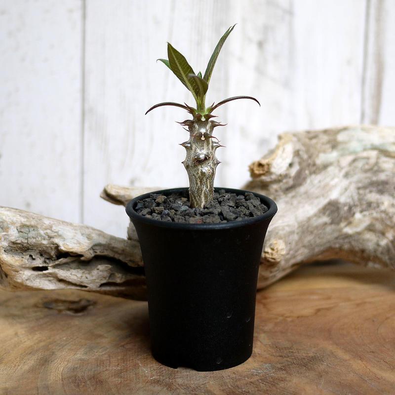 【実生】Pachypodium baronii パキポディウム・バロニー  BAR5