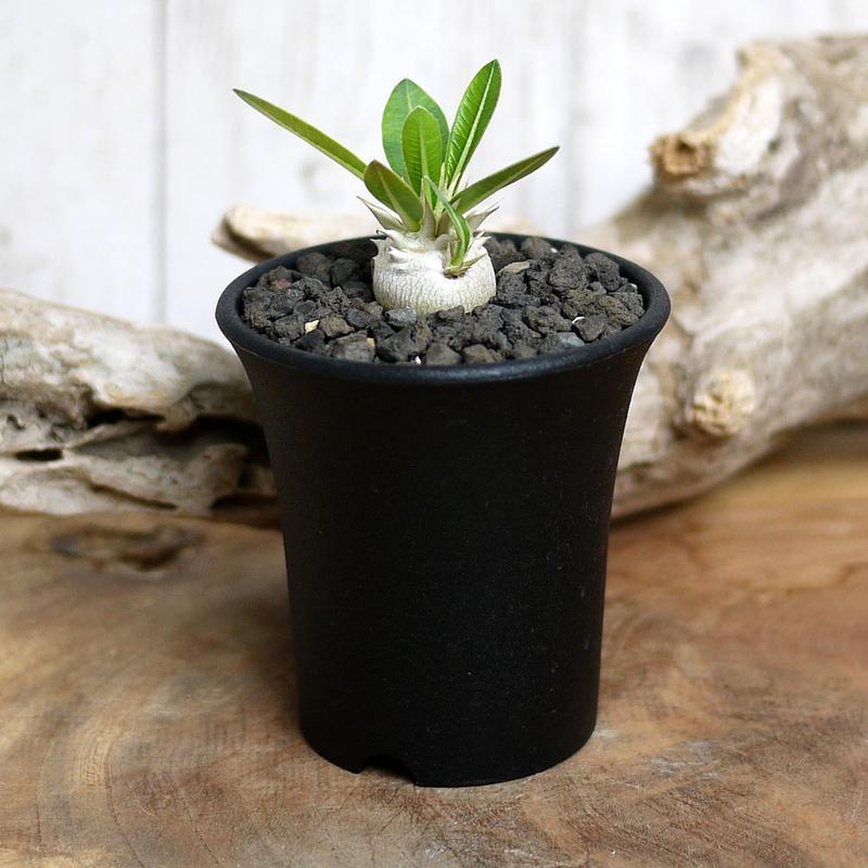 【実生】Pachypodium eburneum パキポディウム・エブレネウム EBR3