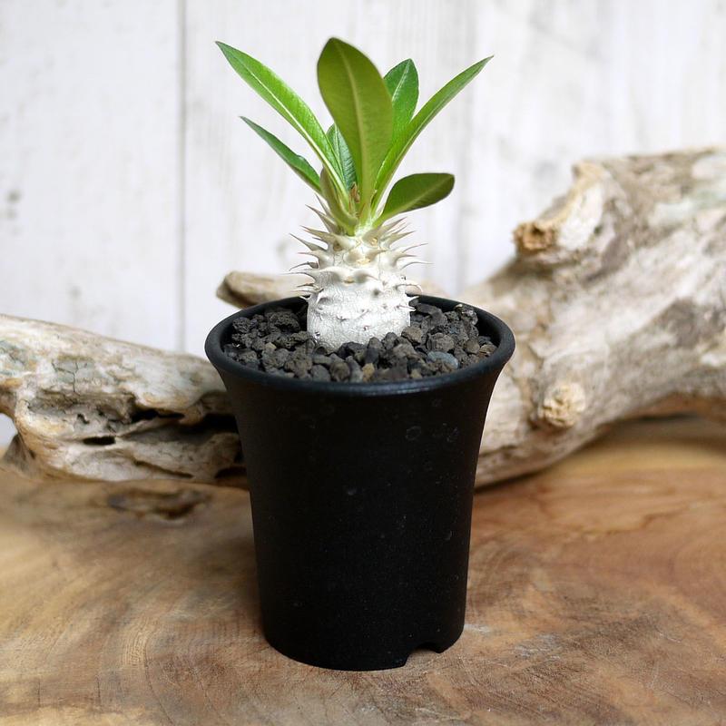 【実生】Pachypodium eburneum パキポディウム・エブレネウム EBR9