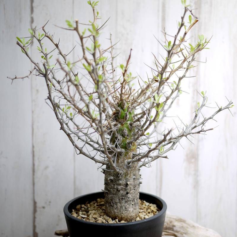 Fouquieria columnaris フォークイエリア・コルムナリス(観峰玉)