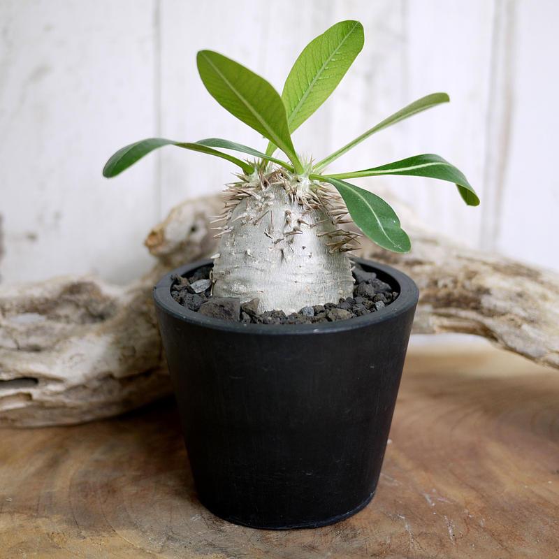 Pachypodium eburneum パキポディウム・エブレネウム