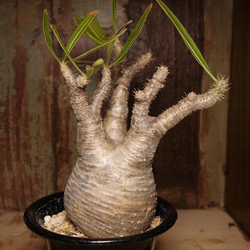 Pachypodium rosulatum var. gracilius パキポディウム・ロスラーツム・グラキリウス(グラキリス)G2