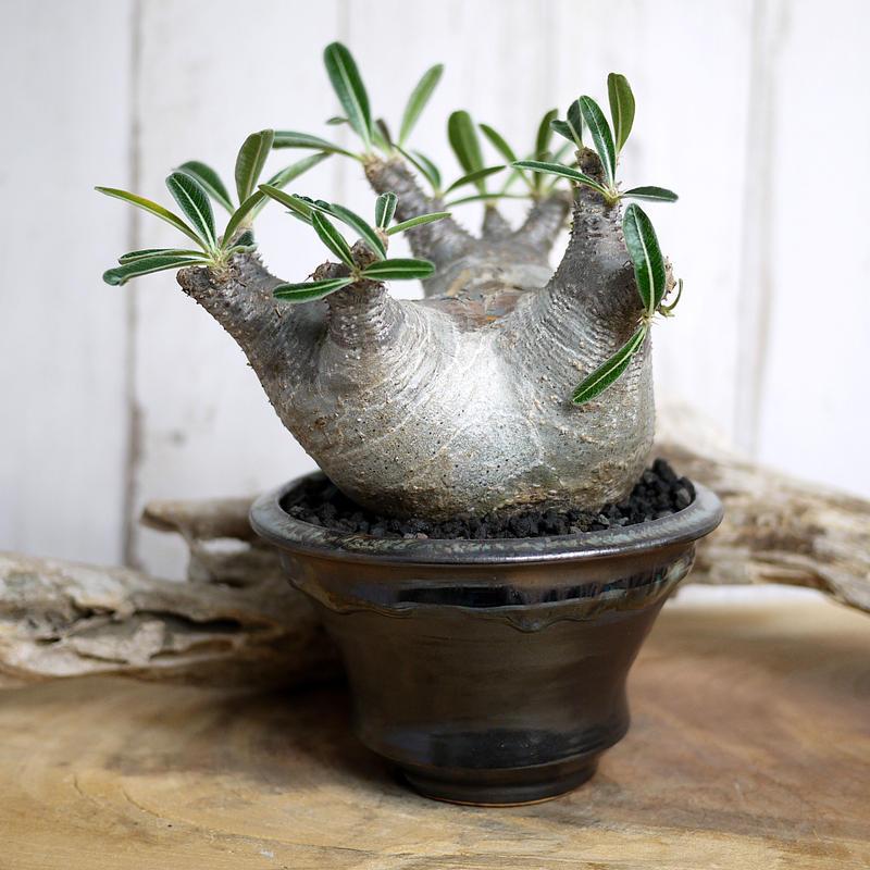 Pachypodium rosulatum var. cactipes パキポディウム・ロスラーツム・カクチペスⅠ