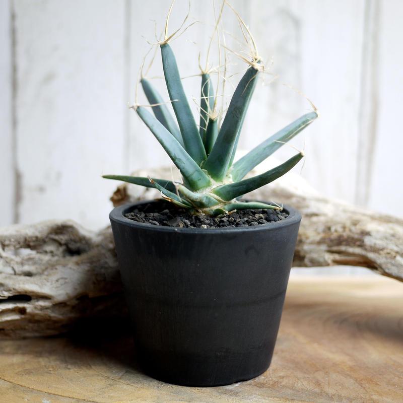 晃山 Leuchtenbergia principis レウクテンベルギアプリンシピス A