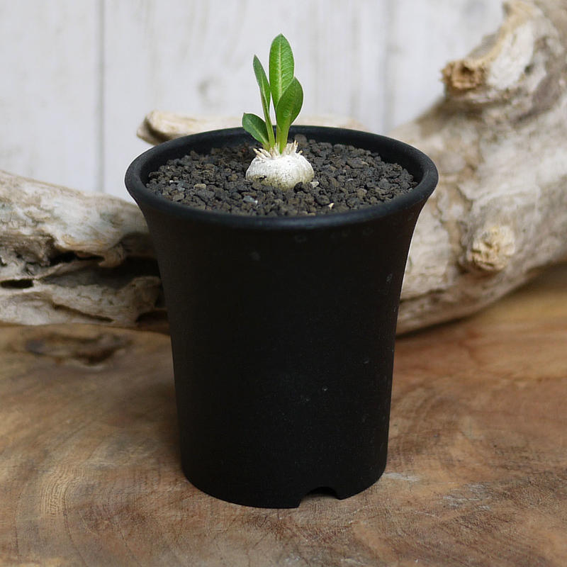 【実生】Pachypodium brevicaule パキポディウム・ブレビカウレ  恵比寿笑い BRE4