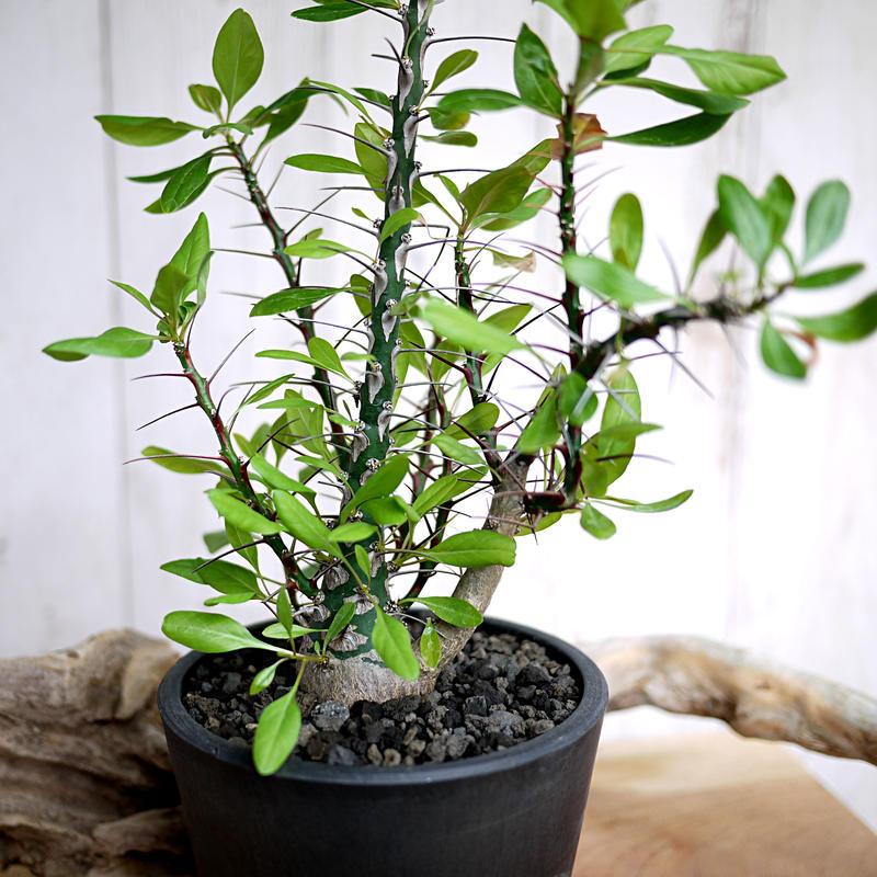 Fouquieria fasciculata×purpusii フォークイエリア・ファシクラータ × プルプシーM2