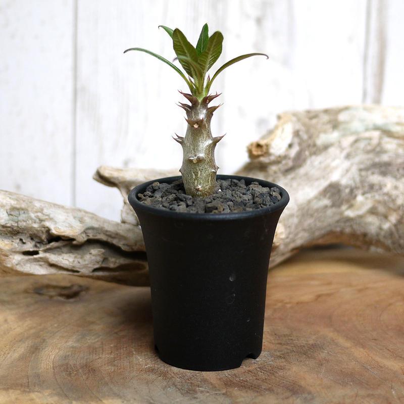 【実生】Pachypodium baronii パキポディウム・バロニー  BAR11