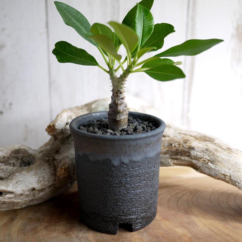 Pachypodium baronii var. windsorii パキポディウム・バロニー・ウィンゾリー W1