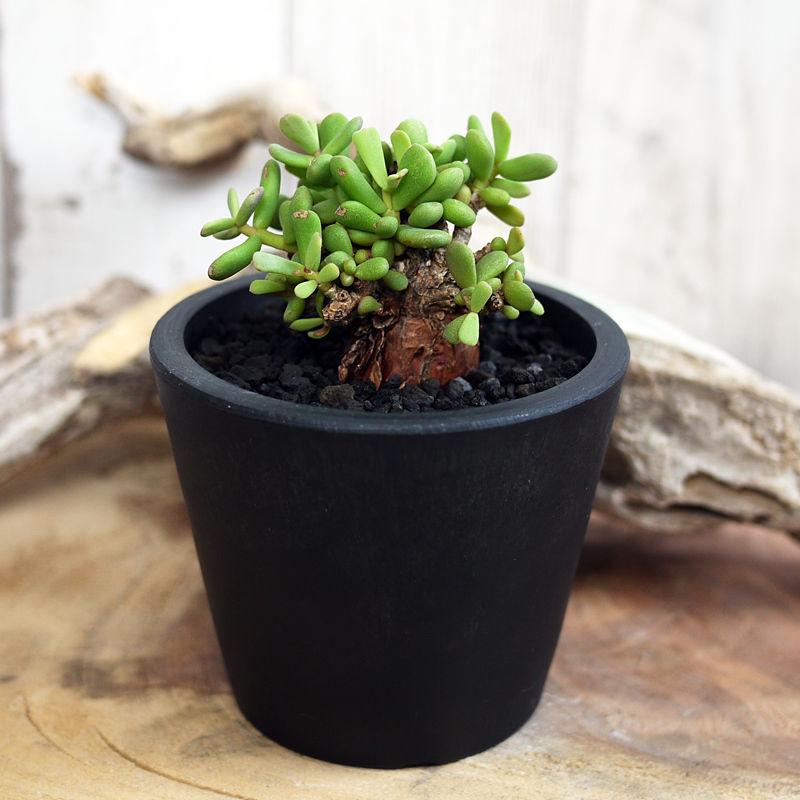 Ceraria pygmaea ケラリア・ピグマエア