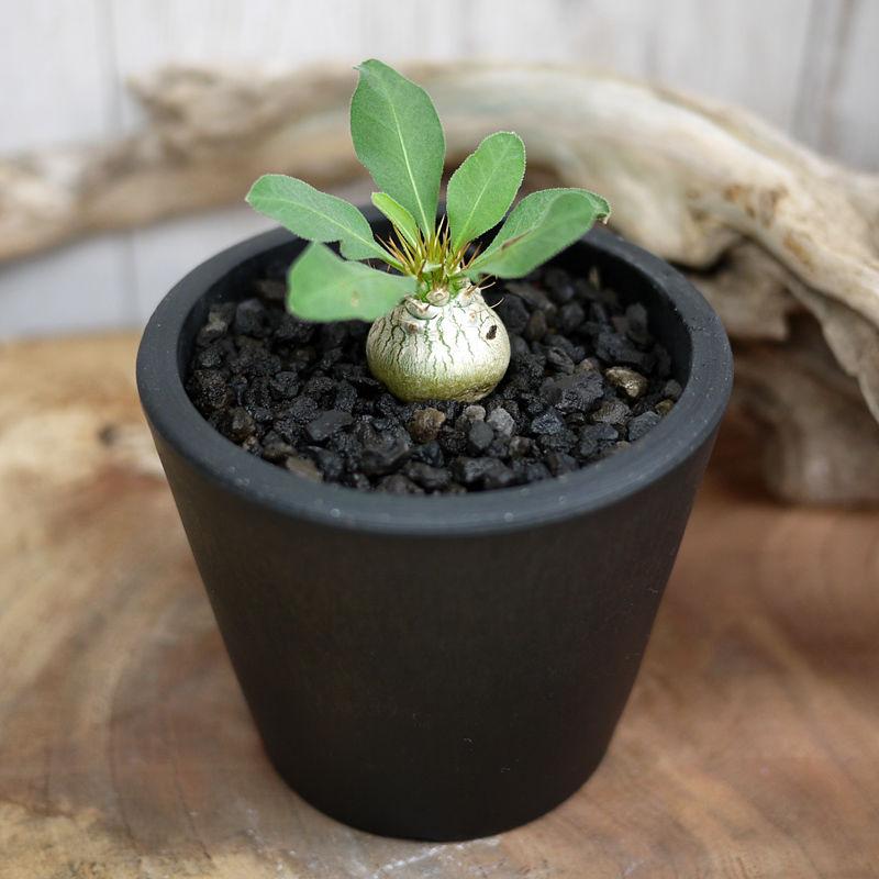 Pachypodium namaquanum パキポディウム・ナマクァナム N2