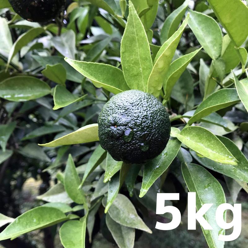 川根本柚子の青柚子(無農薬・無肥料) 5kg