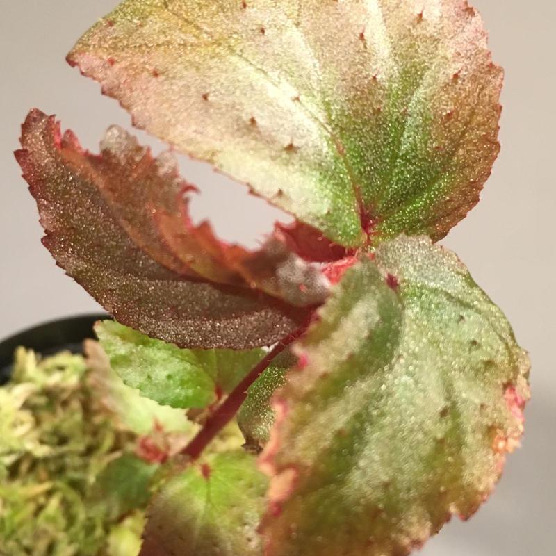 Begonia sp. from Tawau [TK071116-1]