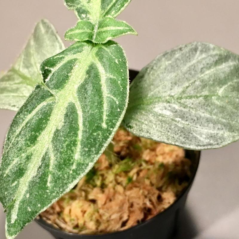 Argostemma bifolium [TK150315]