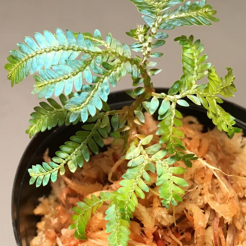 Selaginella sp. from Sarawak